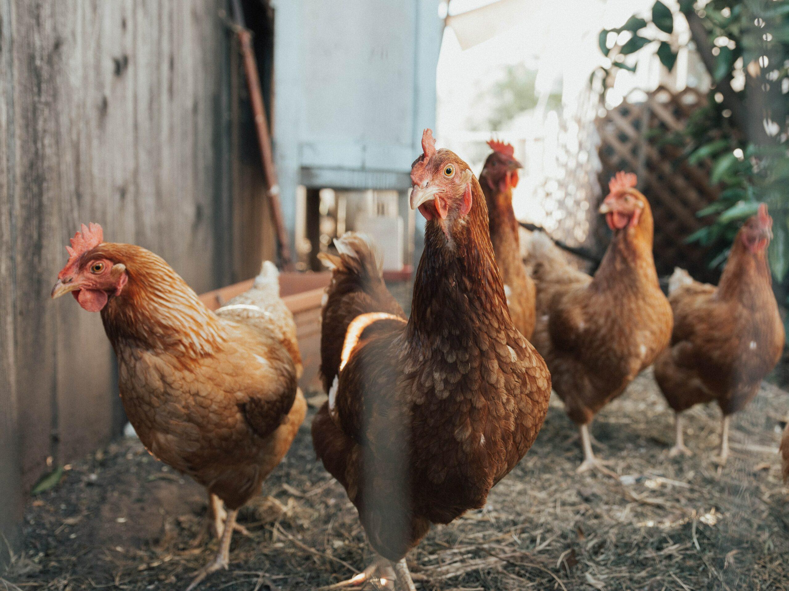 guide pratique avoir des poules